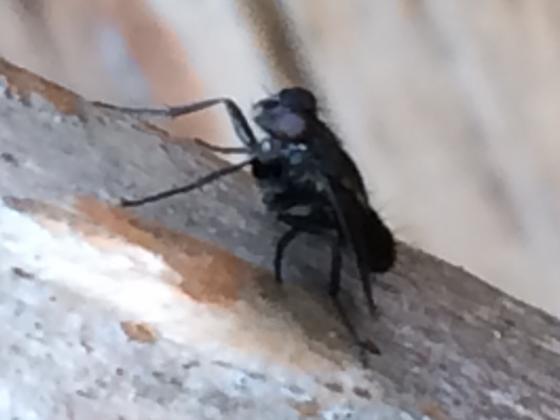 Small fly - Melanophora roralis