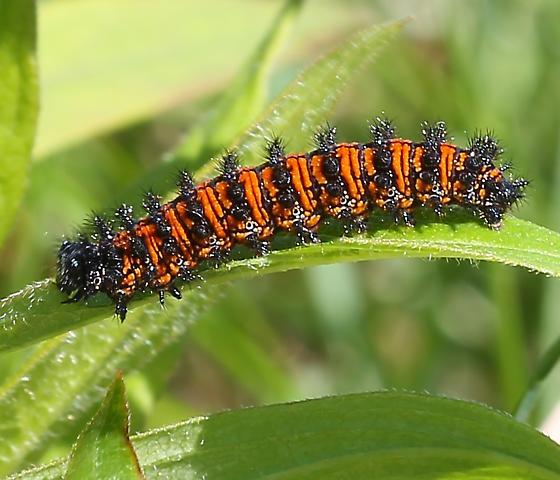 Euphydryas phaeton? - Euphydryas phaeton