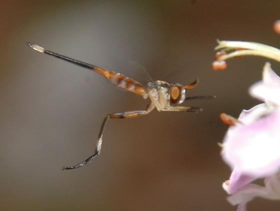 Stylogaster neglecta? - Stylogaster neglecta - female