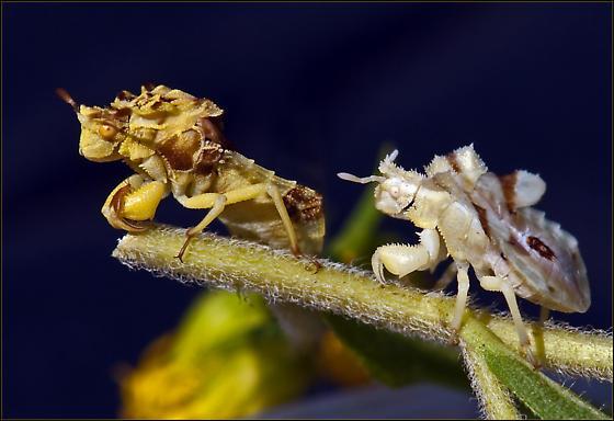 Ambush Bug - Phymata fasciata