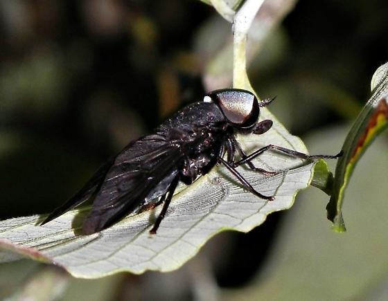 Black Horse Fly?