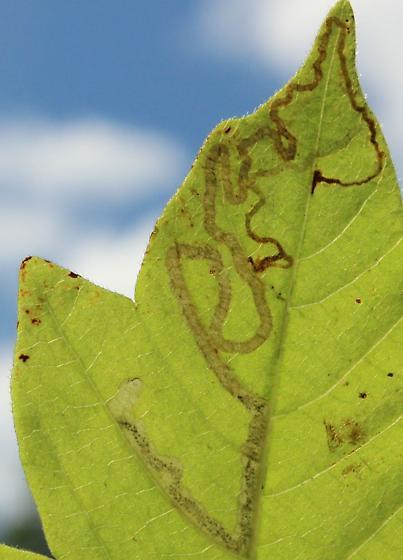 Unid Leafminer Gtr1 - Stigmella rhoifoliella