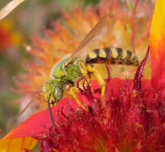 Green Metallic Bee - Agapostemon - male