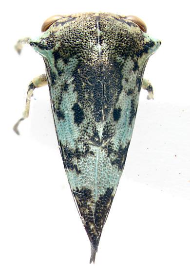 Membracidae, dorsal - Telamona concava