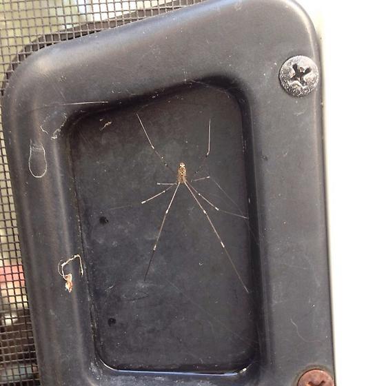 Cellar Spider-Which kind? - Holocnemus pluchei