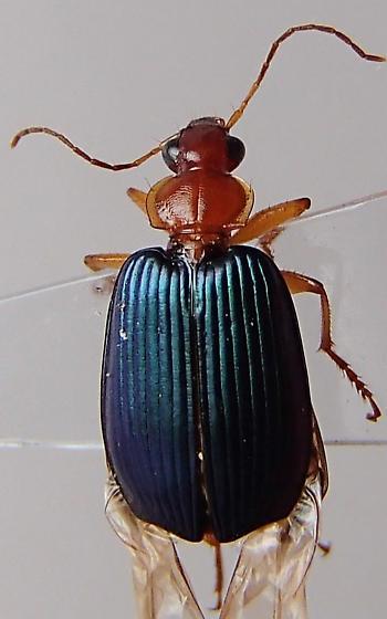 Beetle - Lebia grandis
