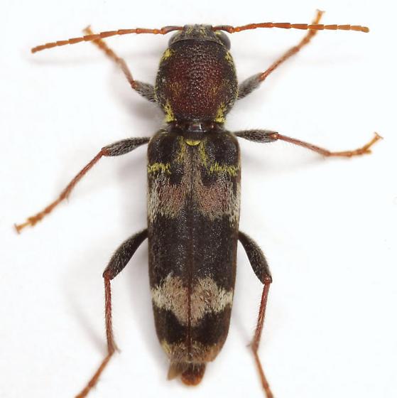 Xylotrechus colonus (Fabricius) - Xylotrechus colonus