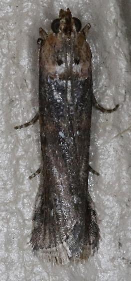 Adelphia petrella - Adelphia Moth - Adelphia petrella