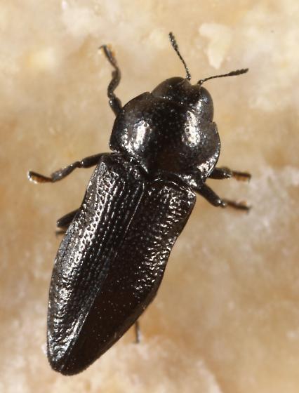 Buprestid - Aphanisticus cochinchinae