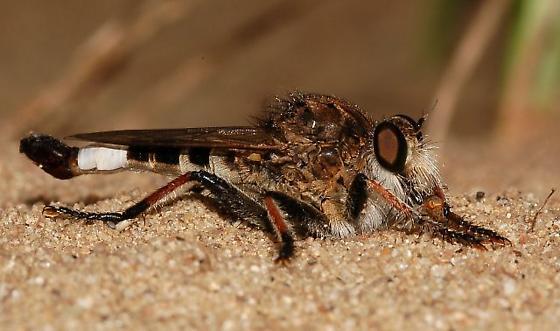 Robber fly - Efferia albibarbis