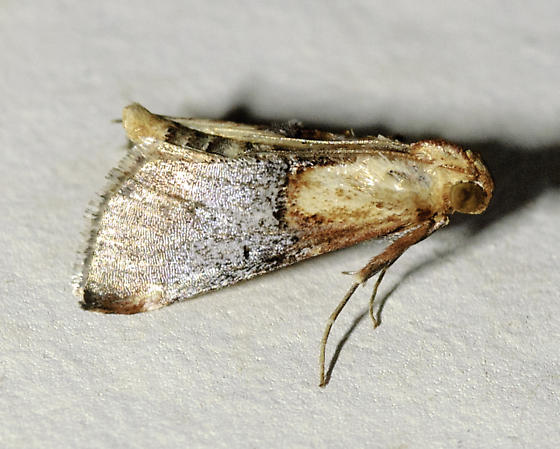Another moth from last night, still resting on the building - Cacozelia basiochrealis
