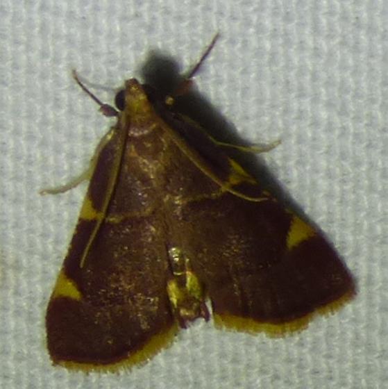 Hypsopygia olinalis Yellow-fringed Dolichomia Moth  - Hypsopygia olinalis