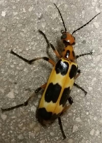 blister beetle?  - Pyrota deceptiva