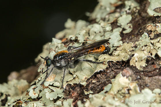 Asilid - Laphria index - male