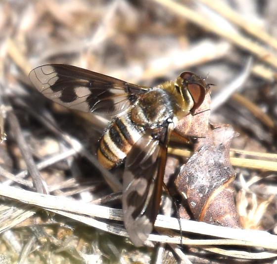 Exoprosopa - Exoprosopa fascipennis