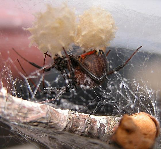 Brown Widow - Latrodectus geometricus - female