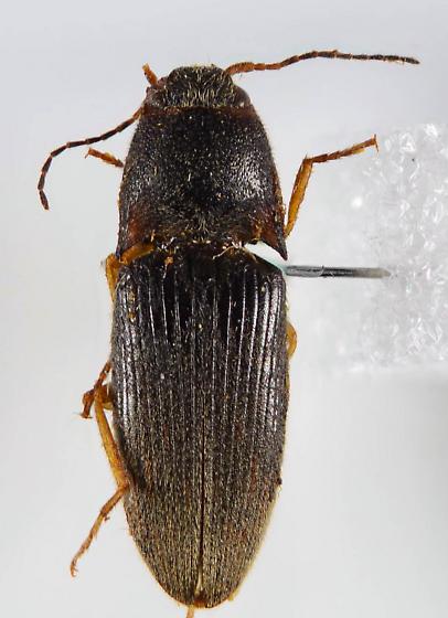Ampedus? - Conoderus falli