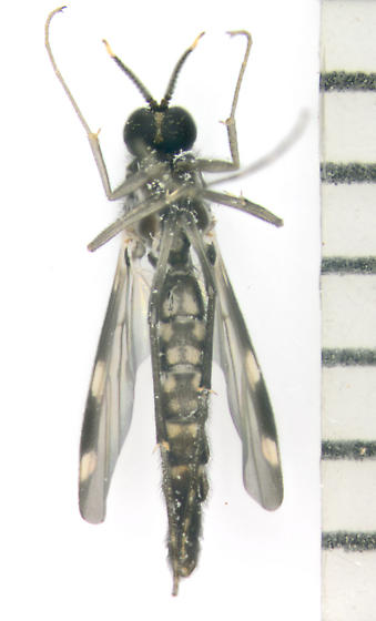 Keroplatidae, predatory fungus gnat, ventral - Heteropterna cressoni - male