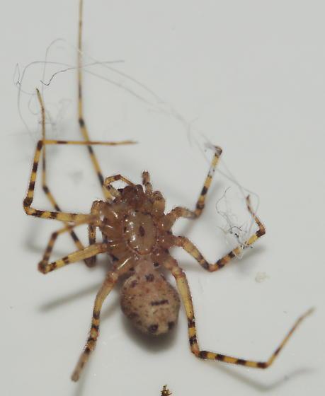 Scytodes sp? - Scytodes thoracica