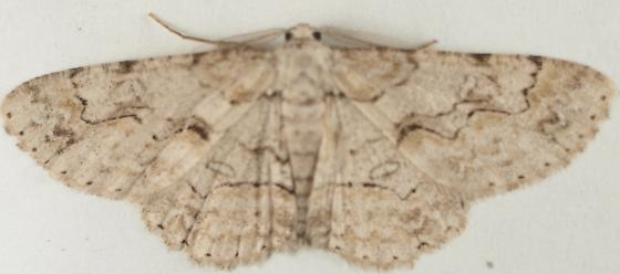 Moth to porch light - Iridopsis defectaria - male