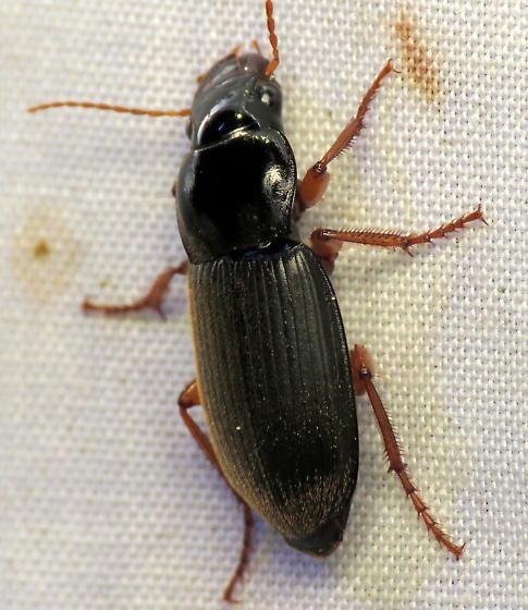 Strawberry Seed Beetle (Harpalus rufipes) - Harpalus rufipes