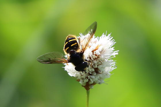 Insect in WA (3) - Sericomyia chalcopyga
