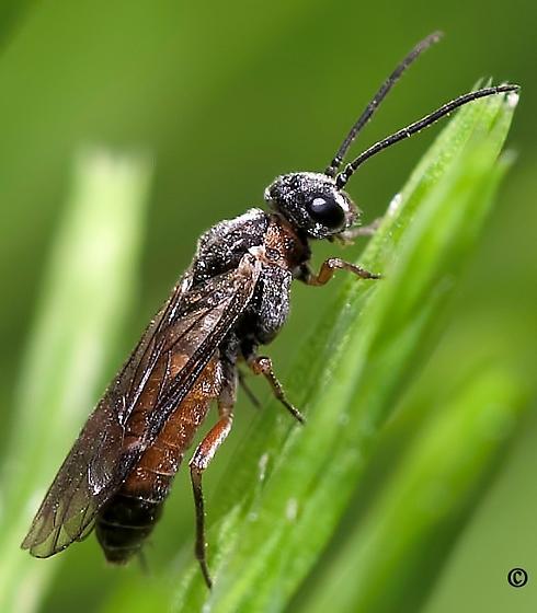 Unknown Wasp #1 - Dolerus