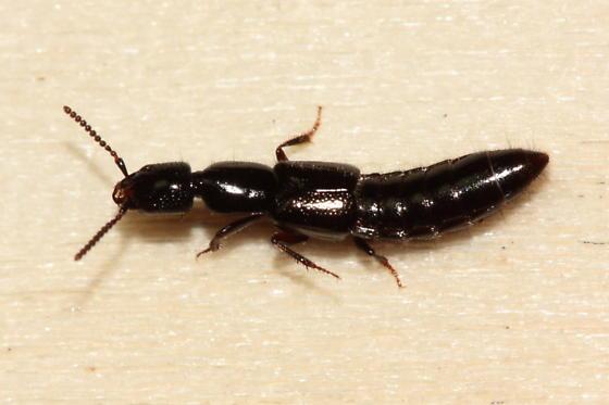 Rove Beetle - Gyrohypnus fracticornis