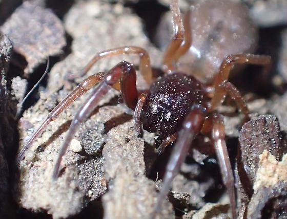 Spider - Trachelas pacificus