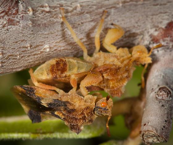 Phymata rossi - male - female