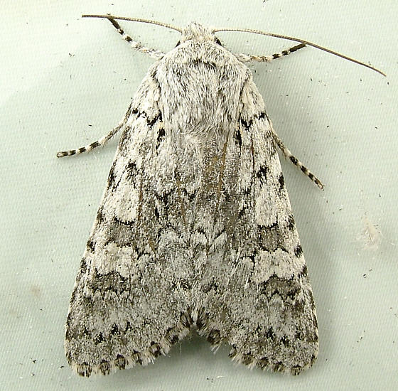 1607 Lasionycta wyatti 10365 - Psammopolia wyatti