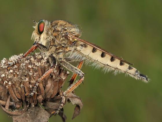 Asilid - Promachus vertebratus - male