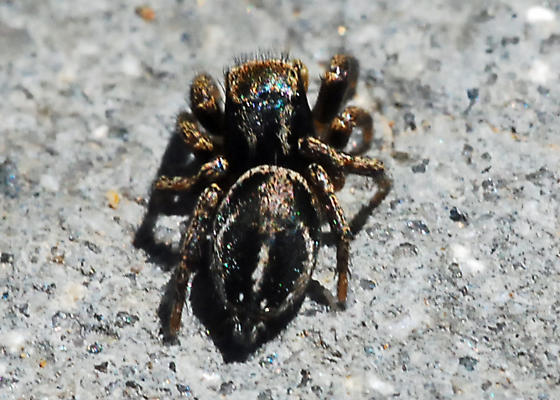Man, do the jumping spiders love those concrete steps. - Habronattus schlingeri - male