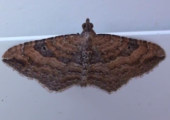 Geometridae: Orthonama obstipata? - Orthonama obstipata