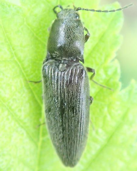 Beetle - Hemicrepidius