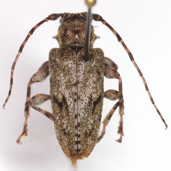 Aegomorphus modestus (Gyllenhal) - Aegomorphus modestus