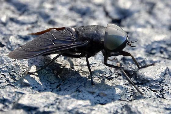 Black horse fly? - Tabanus atratus