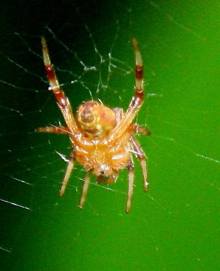 Spotted orbweaver spider  - Neoscona
