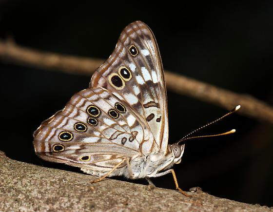 Nymphalidae - Asterocampa celtis