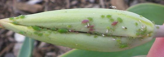 Pink and green aphids on tulip - Macrosiphum euphorbiae