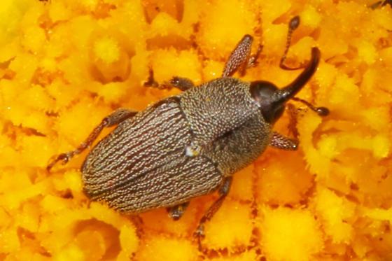 Weevil - Odontocorynus