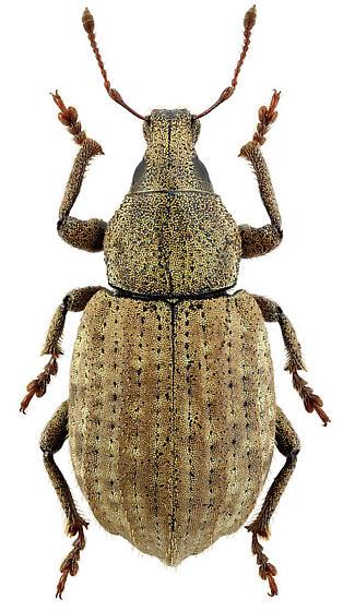 Barynotus moerens - female