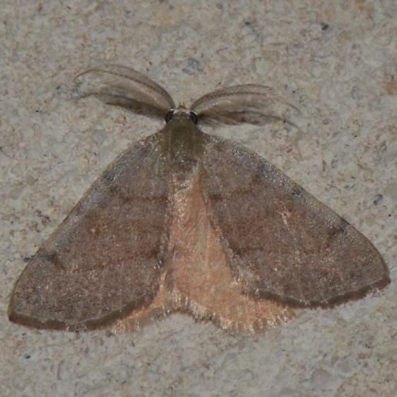 No. 137 Chloraspilates minima or C. bicoloraria or other? - Chloraspilates - male