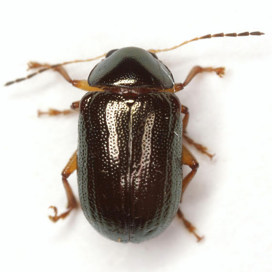 Euphrytus parvicollis Schaeffer - Euphrytus parvicollis