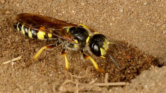 Crabronid wasp beewolf? - Philanthus sanbornii - female