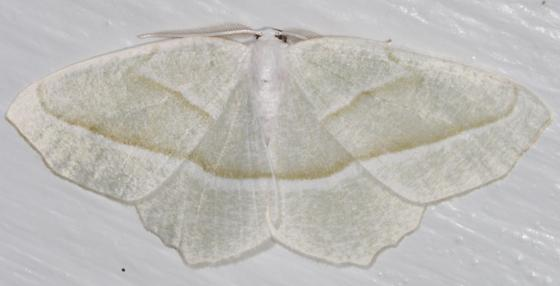 White moth with spread wings on white - Campaea perlata - male