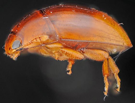 Shining Flower Beetle, lateral - Stilbus