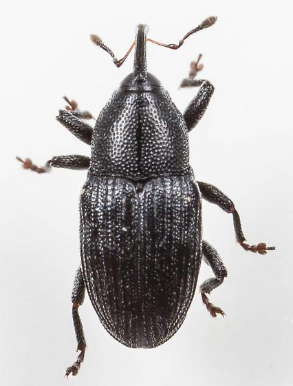Weevil - Sibariops