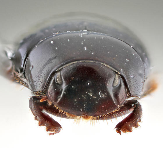 FL Scarab - Ateuchus