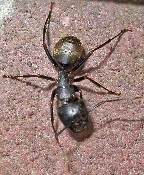 Camponotus pennsylvanicus Major Worker - Camponotus pennsylvanicus - female